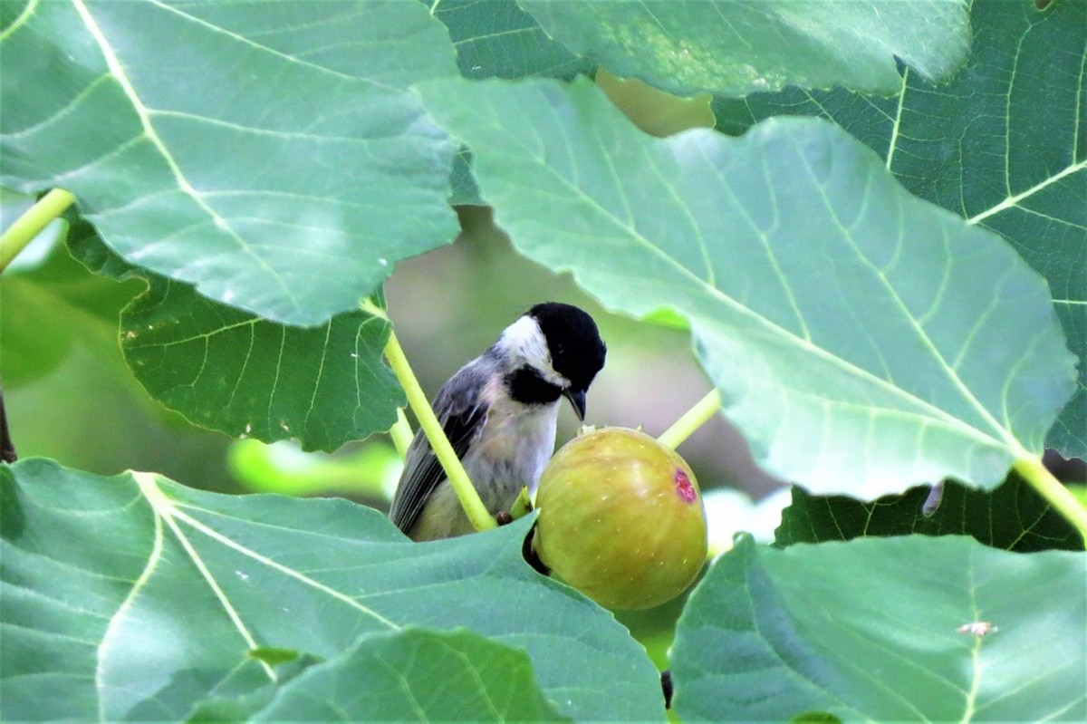 Don't forget to cover your trees with bird netting while they are setting fruit.  Birds and squirrels love figs.