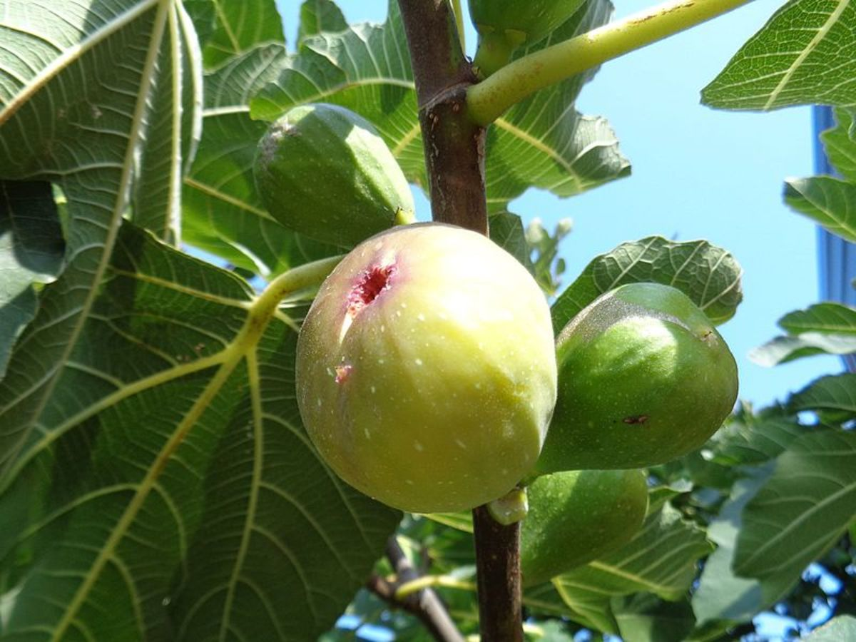 A ripe yellow fig with unripe green figs