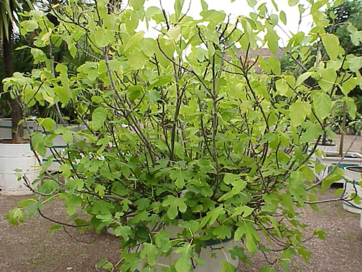 Fig trees are multi-stemmed trees.  You can prune them to be a single stem tree if you prefer.