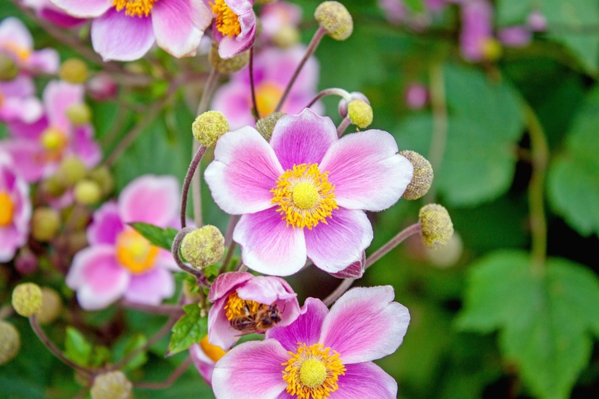 How to Grow Japanese Anemones (Windflowers)