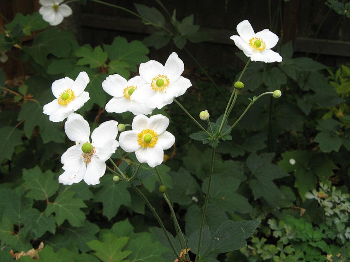 My favorite cultivar is Honorine Jobert.