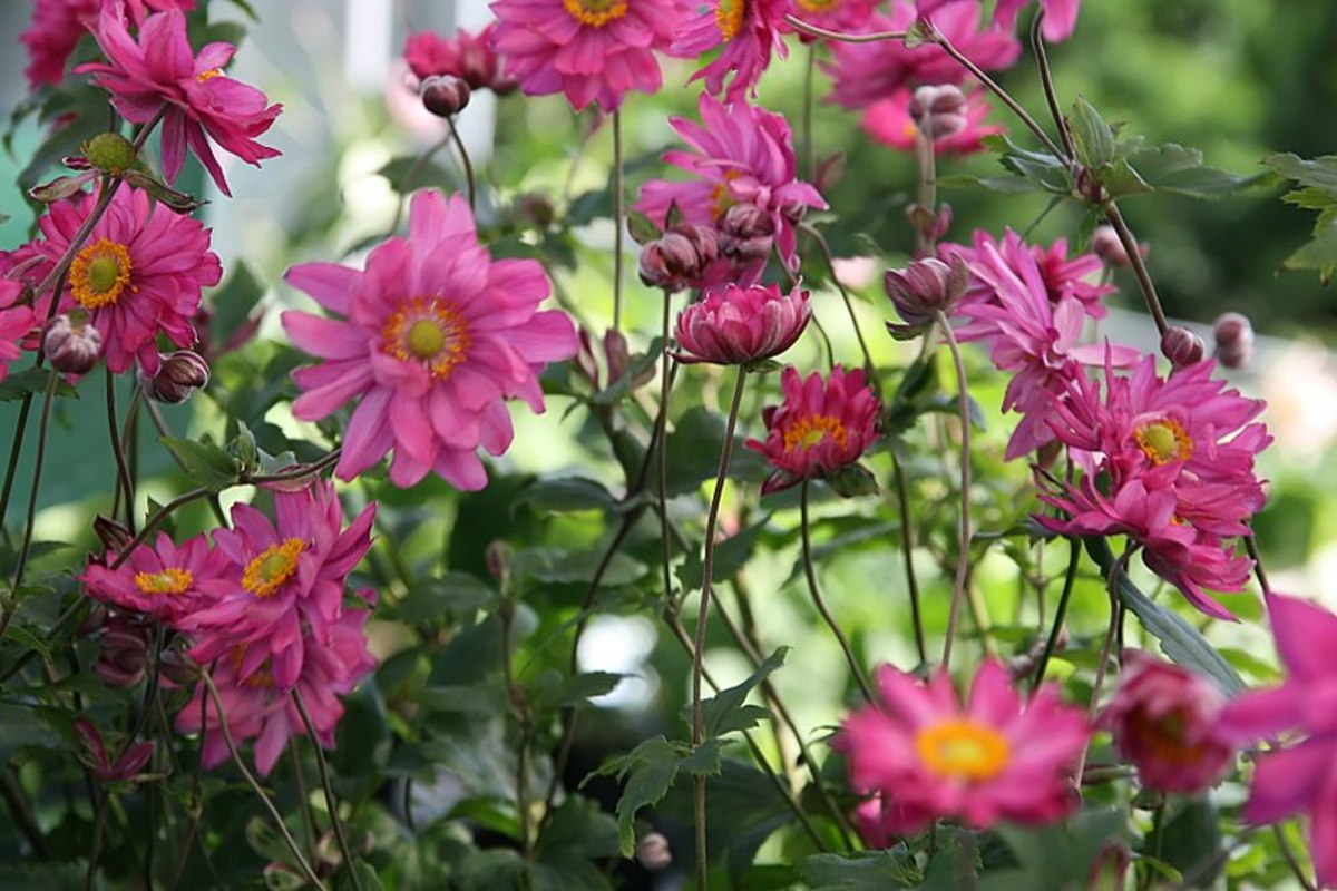 The cultivar, Bressingham Glow, is a good example of the semi-double flower form.