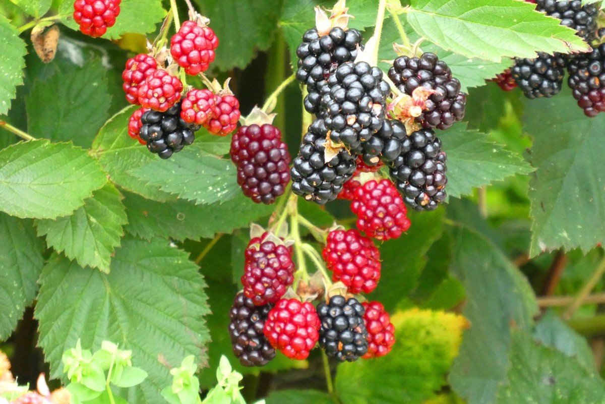 Harvest your berries when they have turned dull black.