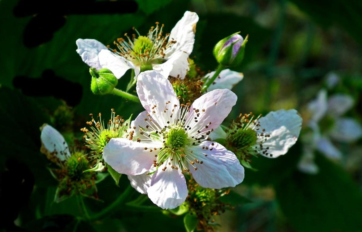 Primocane blackberries bloom in the fall.  Floricane blackberries bloom in the summer.