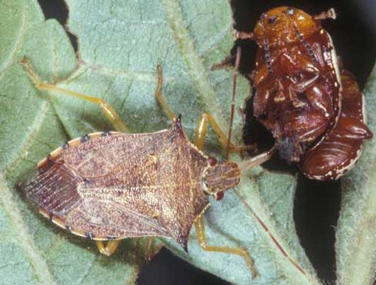 Spined soldier bug (left) preparing to feed on pair of flea beetles (right).