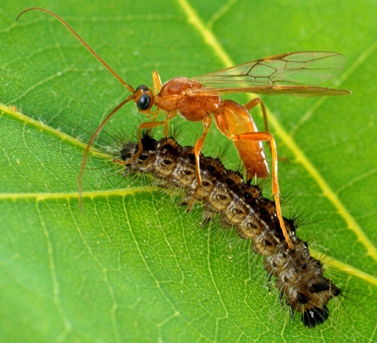 Braconid wasp attacks caterpillar.
