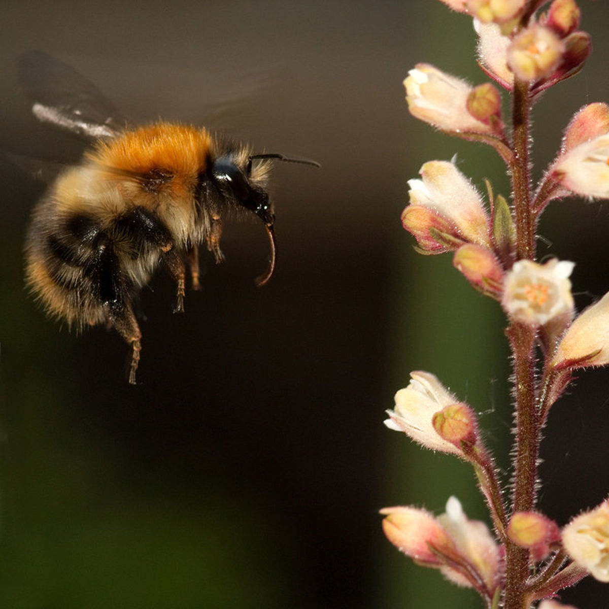 Common bumblebee.