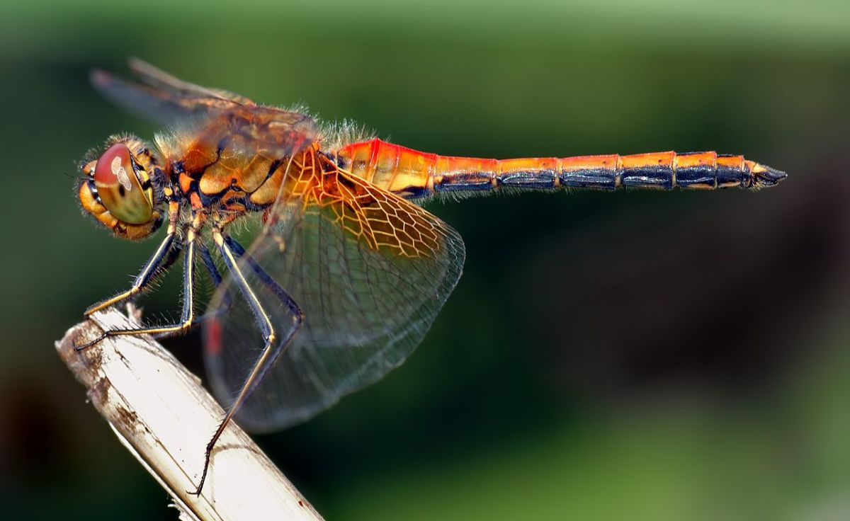 Common dragonfly.