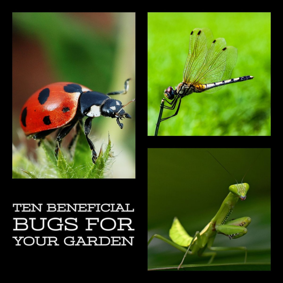 Ten beneficial bugs for your garden.