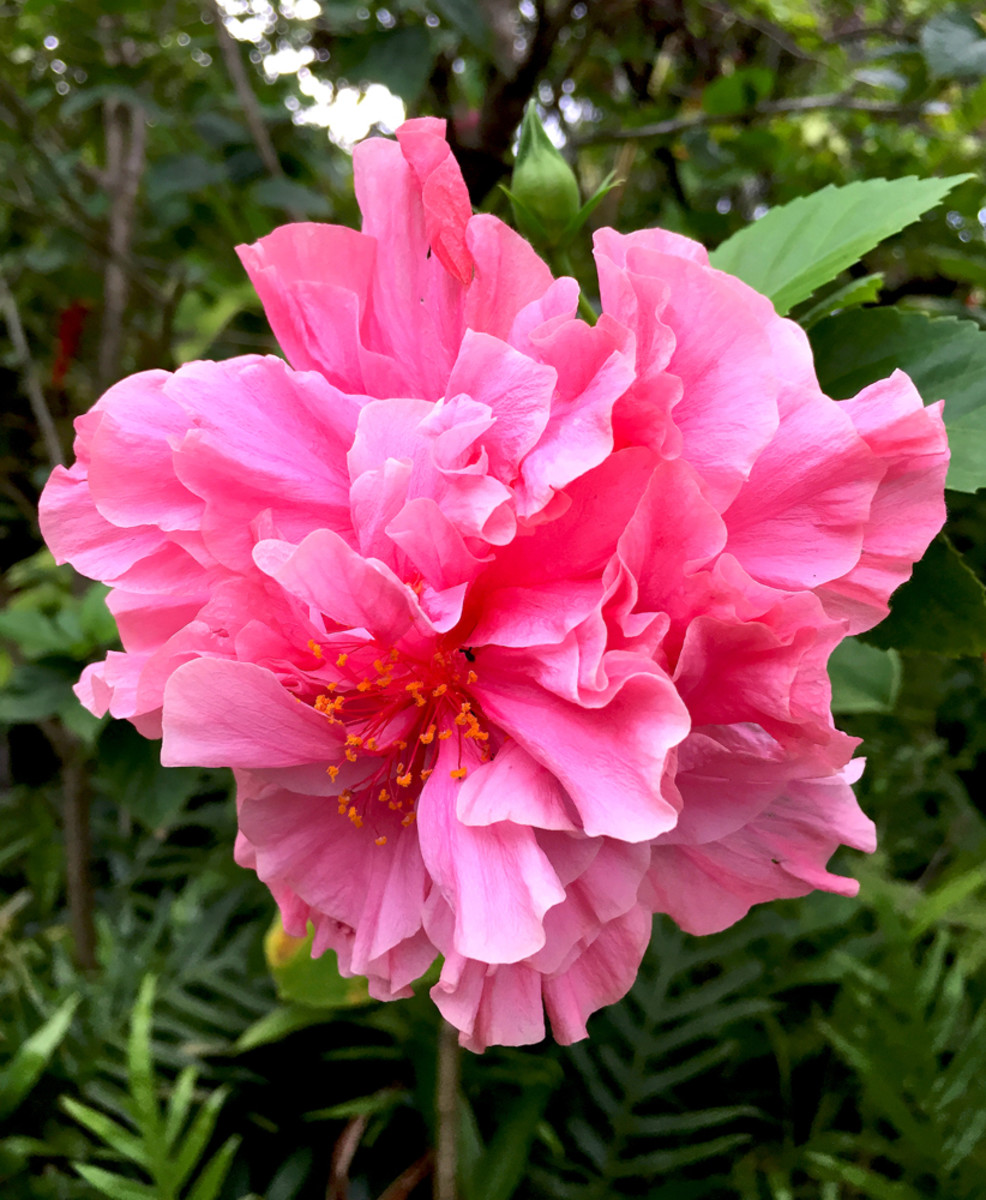 Pink pom-pom shaped blossom of double hibiscus 'Kona' (Hibiscus sp.)