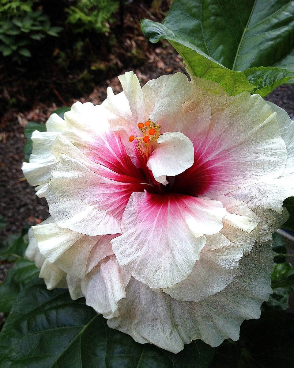 For the Love of Double Tropical Hibiscus
