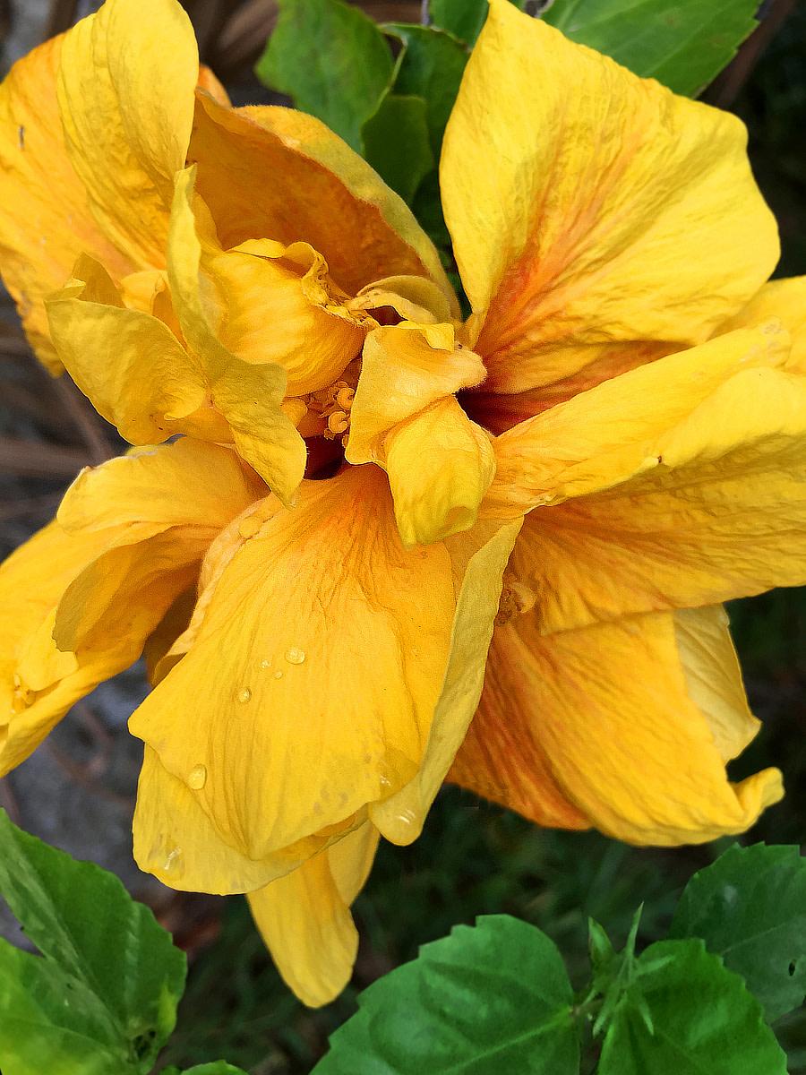 A golden double hibiscus unfurling its exquisite petals.