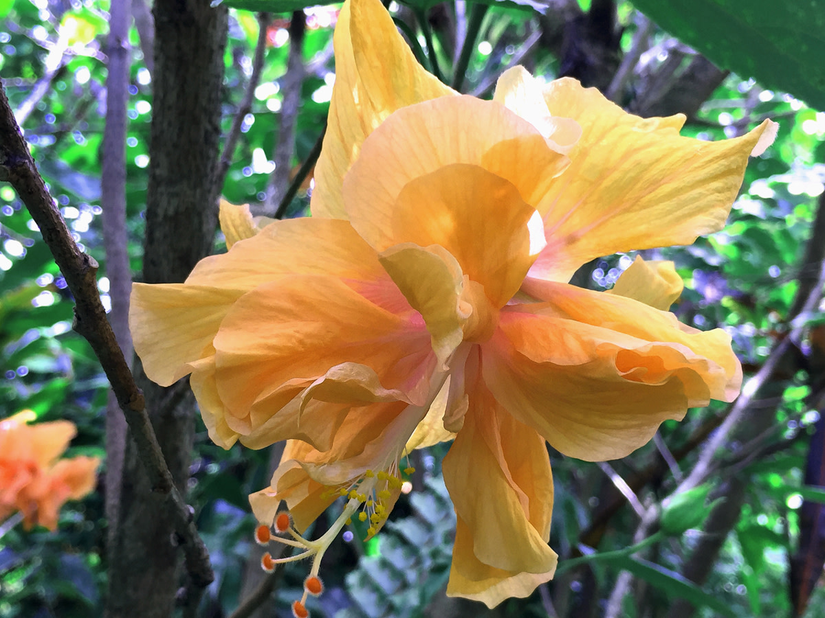 Peach-colored double hibiscus
