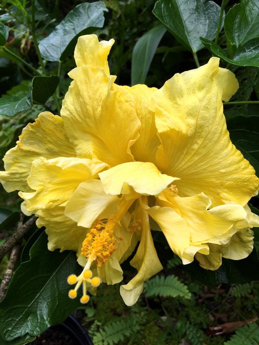Lemon-yellow-colored double hibiscus