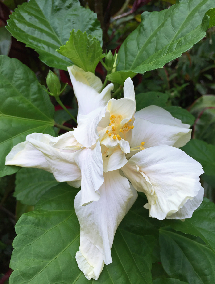 Double hibiscus 'White Elephant' (Hibiscus sp.) with its graceful petals.