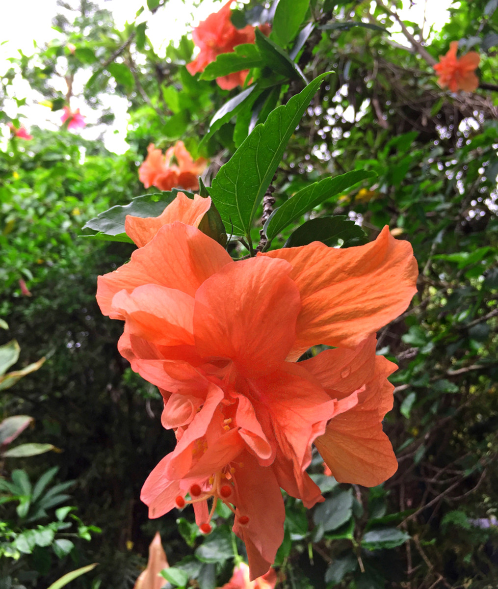 Double hibiscus 'Orange Sherbert' (Hibiscus sp.) is aptly named for its delightful blossoms.