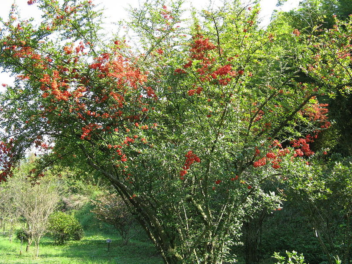Firethorn shrubs' dense branches and thorns make them a perfect spot for nesting birds to raise their young.