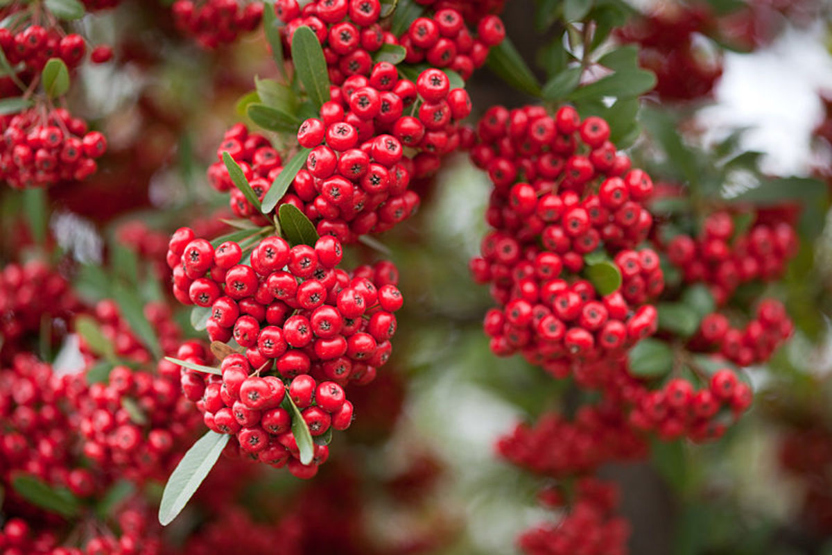 How to Grow Firethorn (Pyracantha) for Winter Interest