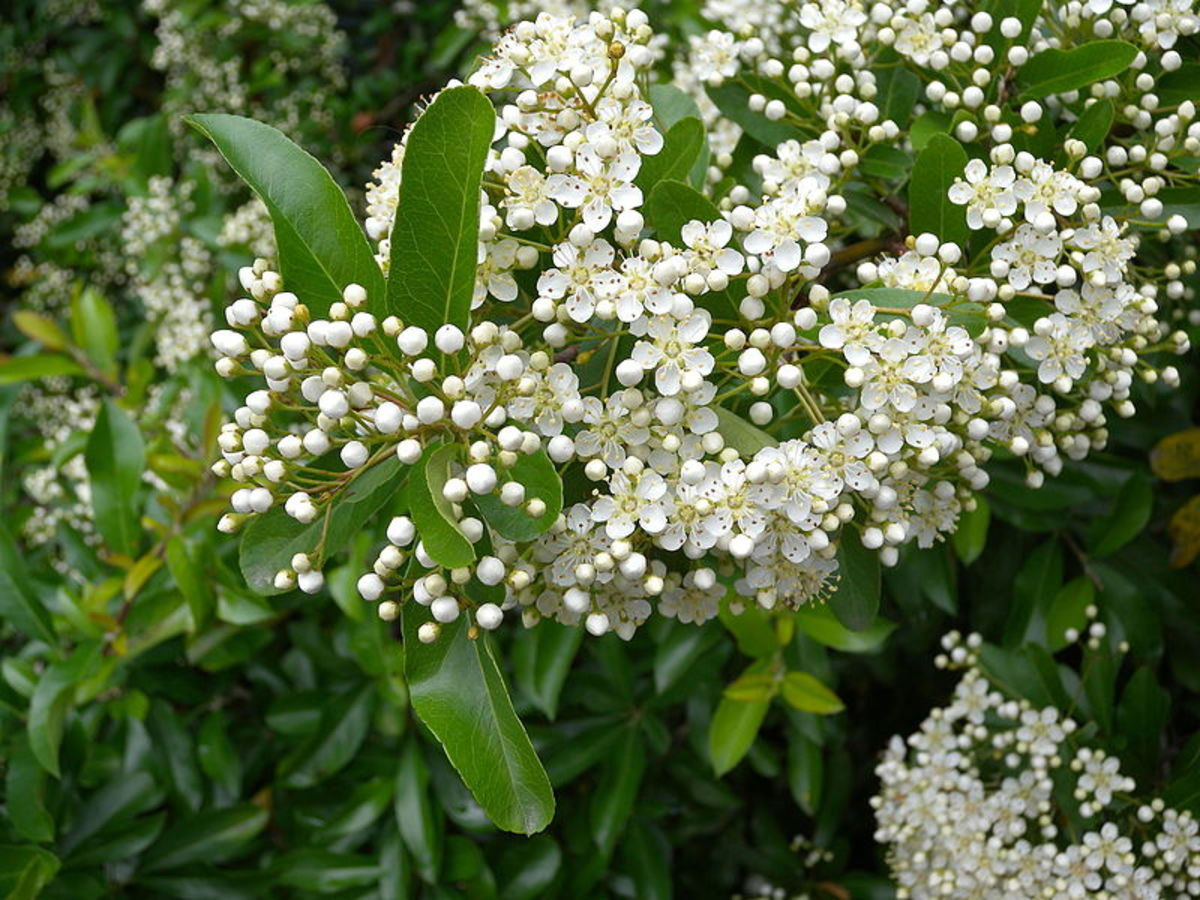 Prune your shrub after it has finished blooming