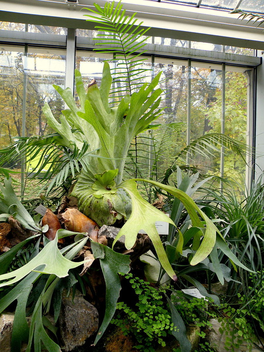 The Elkhorn fern, also known as the Moosehead fern, can grow up to 5 feet in diameter.