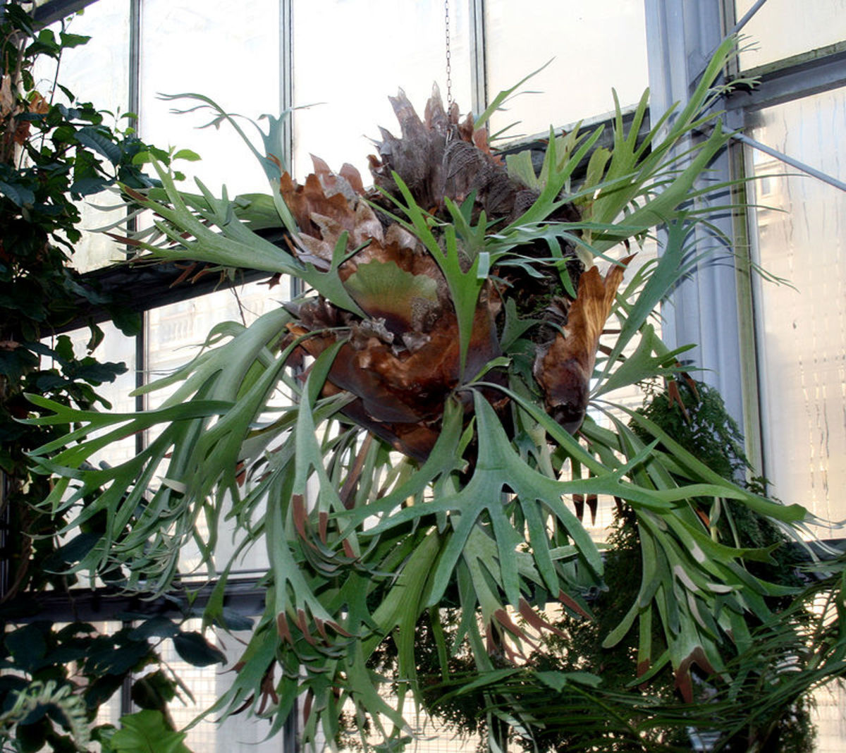 Staghorn ferns grown in wire hanging baskets develop pups which are new, young ferns all around the basket.