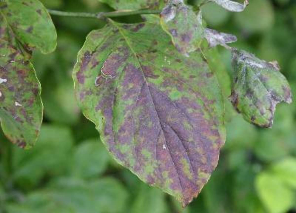 Look for angular brown leaf spots that often have a purple border, a sign that your tree has been infected with Septoria leaf spots. Small round fruiting bodies, pycnidia, are visible with a hand lens on the upper surfaces.