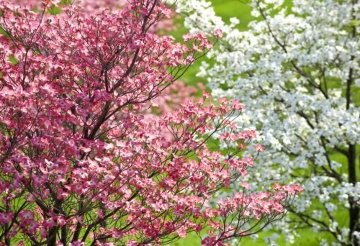 When a flowering pink or white dogwood tree is healthy and flourishing, it is a sight to behold.