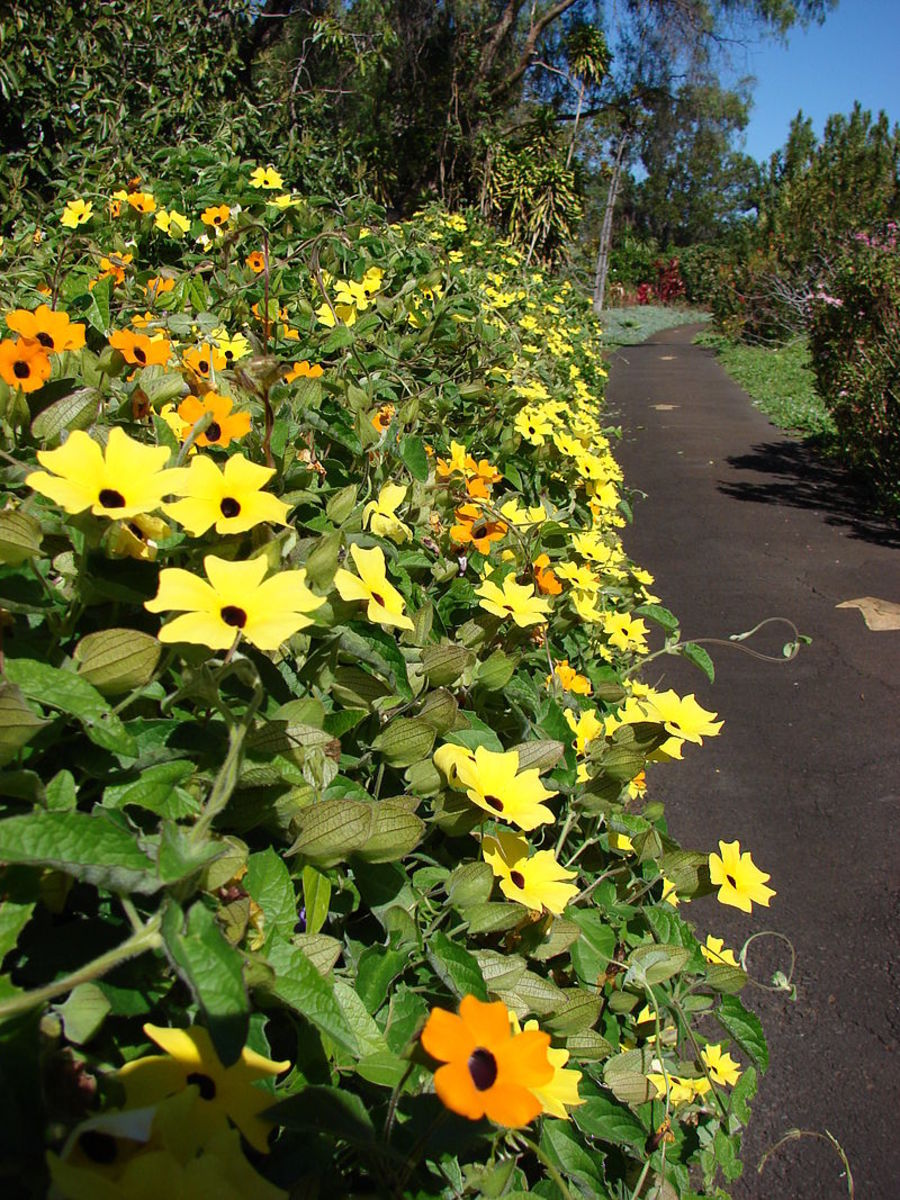 Black-eyed Susan vines have become naturalized in Hawaii.