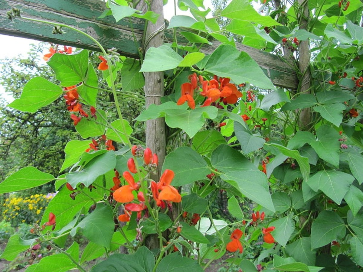 how-to-grow-scarlet-runner-beans-an-edible-ornamental-plant