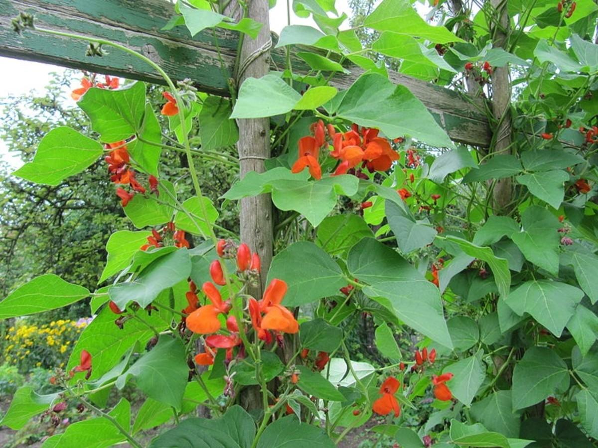How to Grow Scarlet Runner Beans, an Edible Ornamental Plant