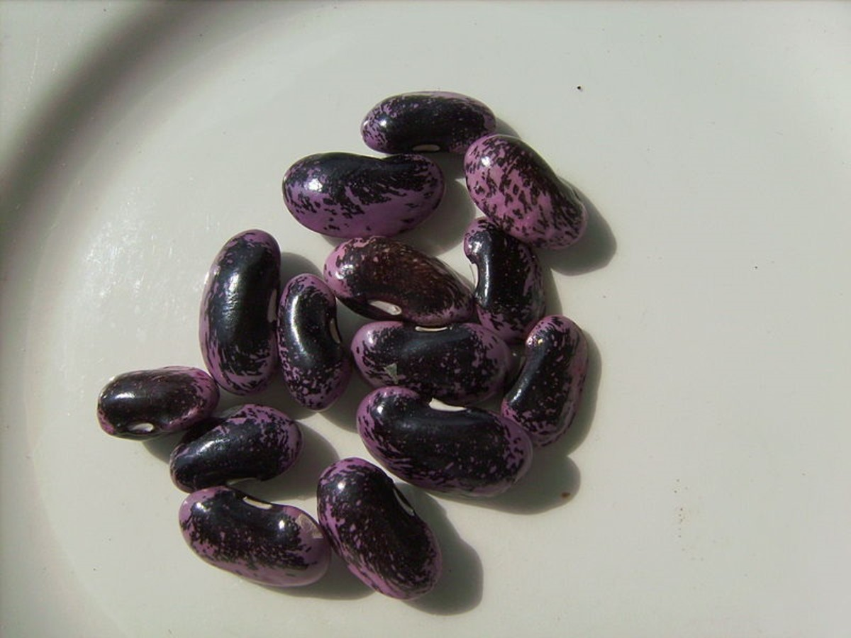 Scarlet runner beans are black with purple mottling.