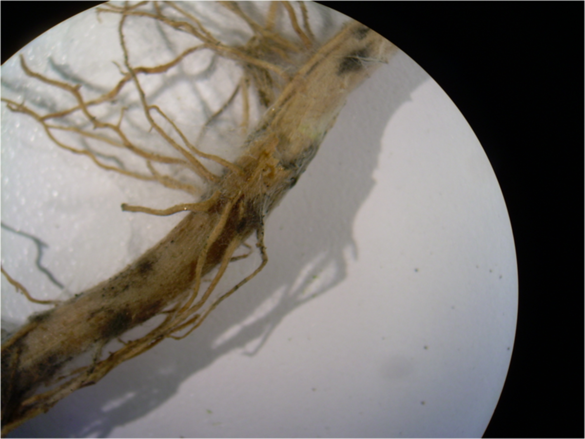 Roots that have been infected with damping off.