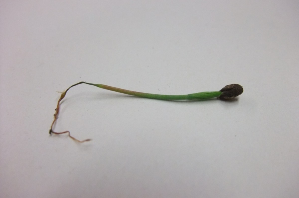 A stem that has been killed by damping off.