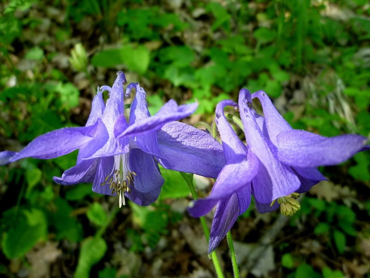 How to Grow Columbine (Aquilegia), a Cottage Garden Favorite