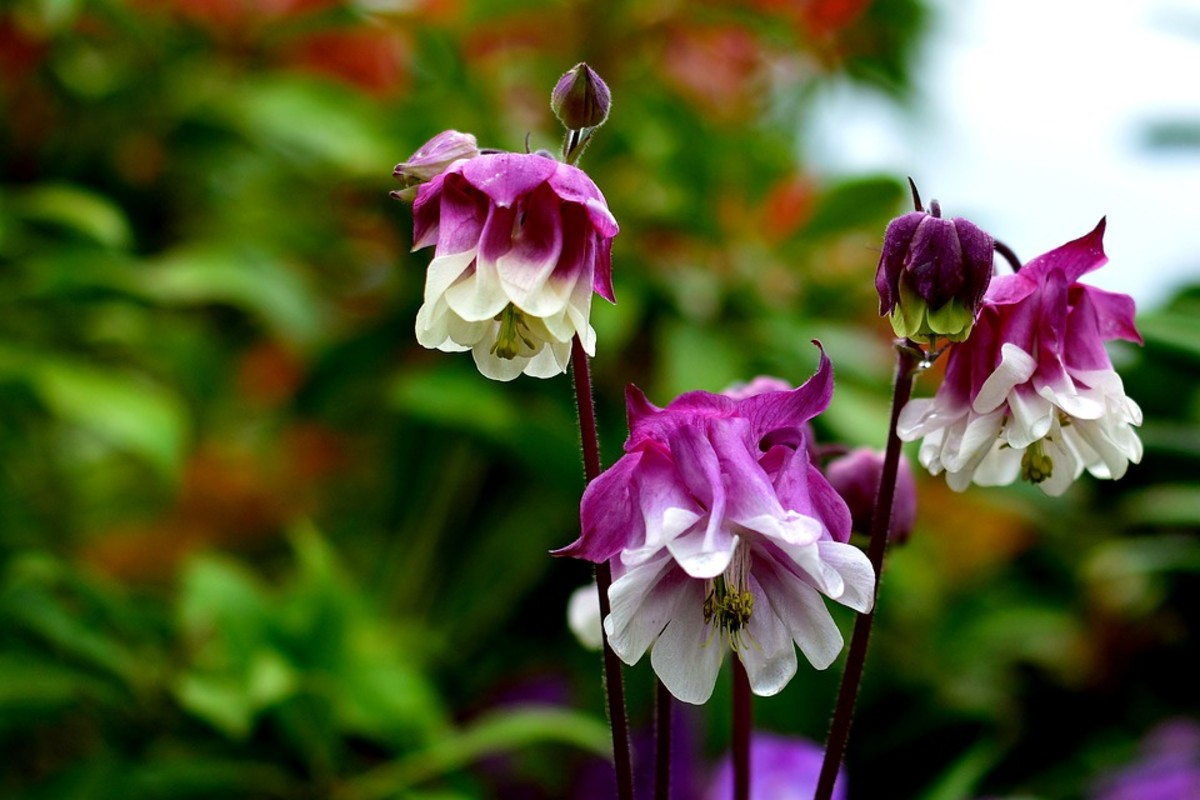 Columbine that are bred to have no spurs are barely recognizeable as columbines,