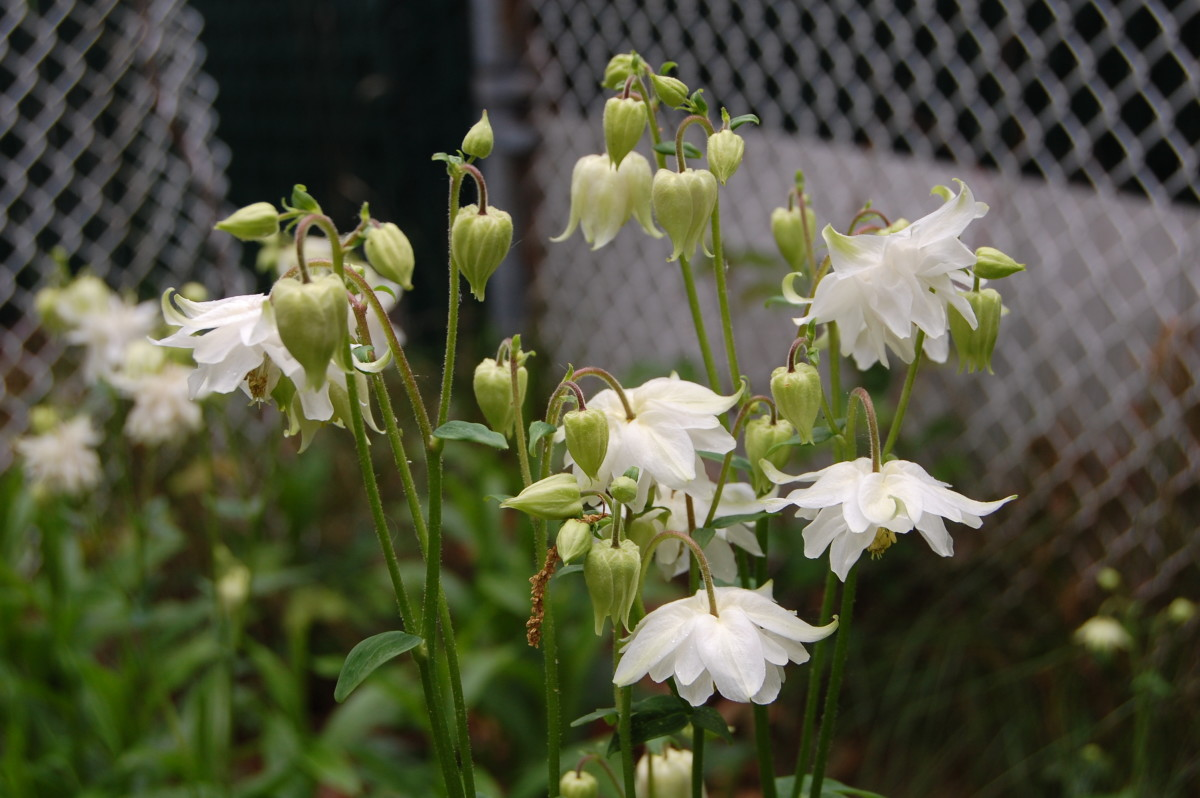 The Nora Barlow hybrid series has double flowers.