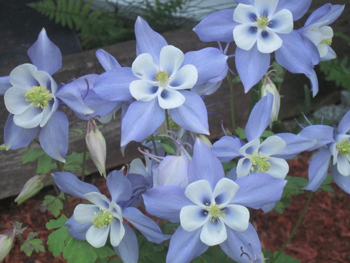 Aquilegia coerulea, native to the western area of the US.
