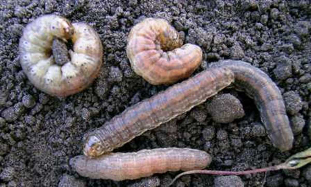 There are many different species of cutworms in many different colors—solids, striped or spotted. They can reach up to two inches in length and tend to feed only at night. This photograph shows some red-backed cutworm larvae.