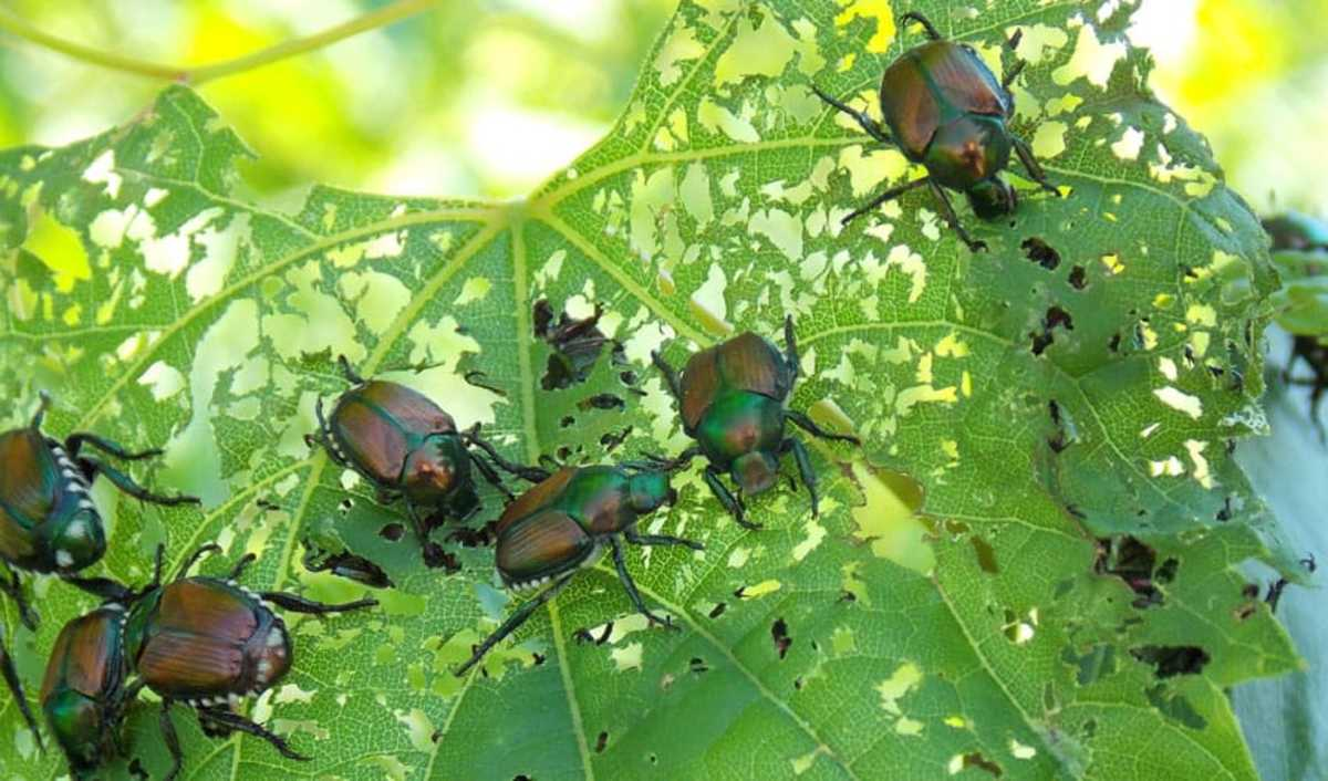 Japanese beetles can skeletonize your plants, turning healthy leaves into a skeleton of veins during the summer. They feed on the tissue between the major veins.
