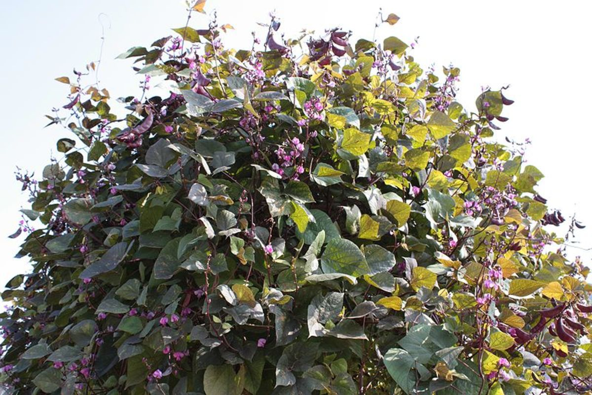 Hyacinth bean vines grow so vigorously that they make an excellent screen for privacy.