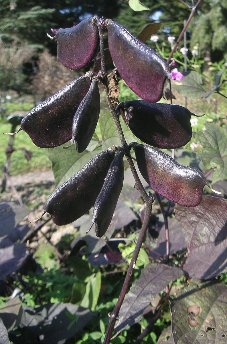 Hyacinth bean vines are grown not just for their flowers, but also for their purple pods.