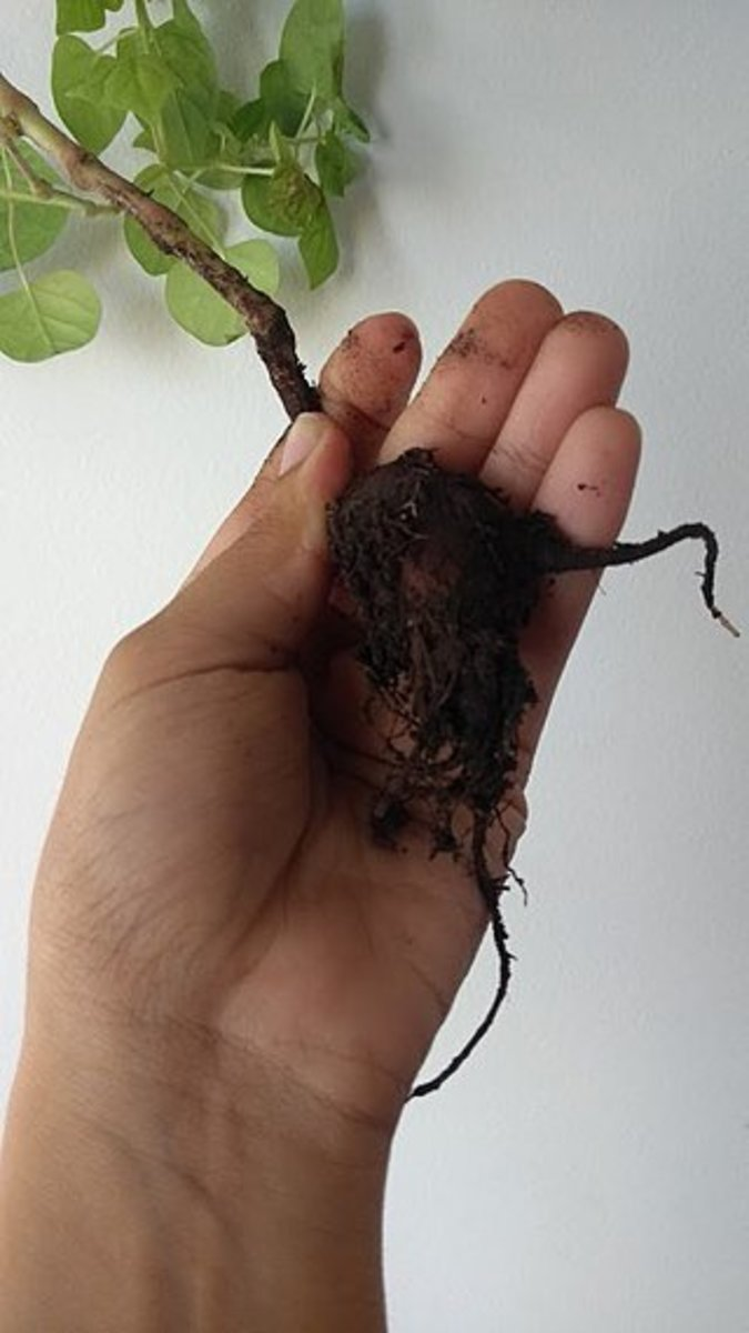 In colder climates, you can store the tubers indoors and replant them in the spring.