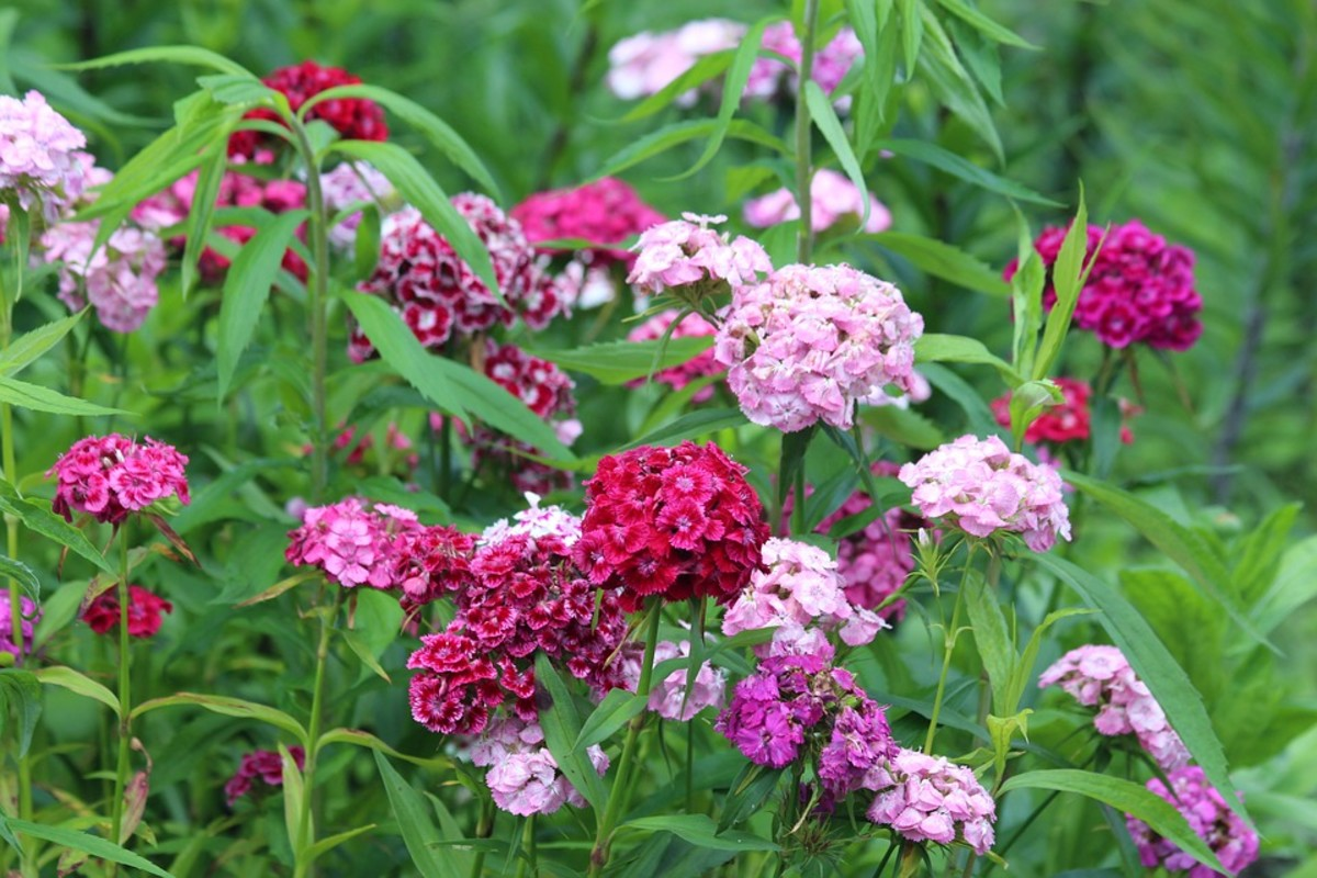 Sweet william flowers can be red, pink, white or bicolors.