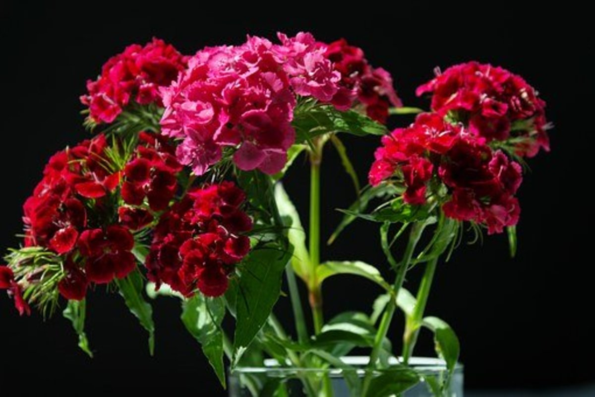 Sweet william flowers will last 7 to 10 days in a vase.