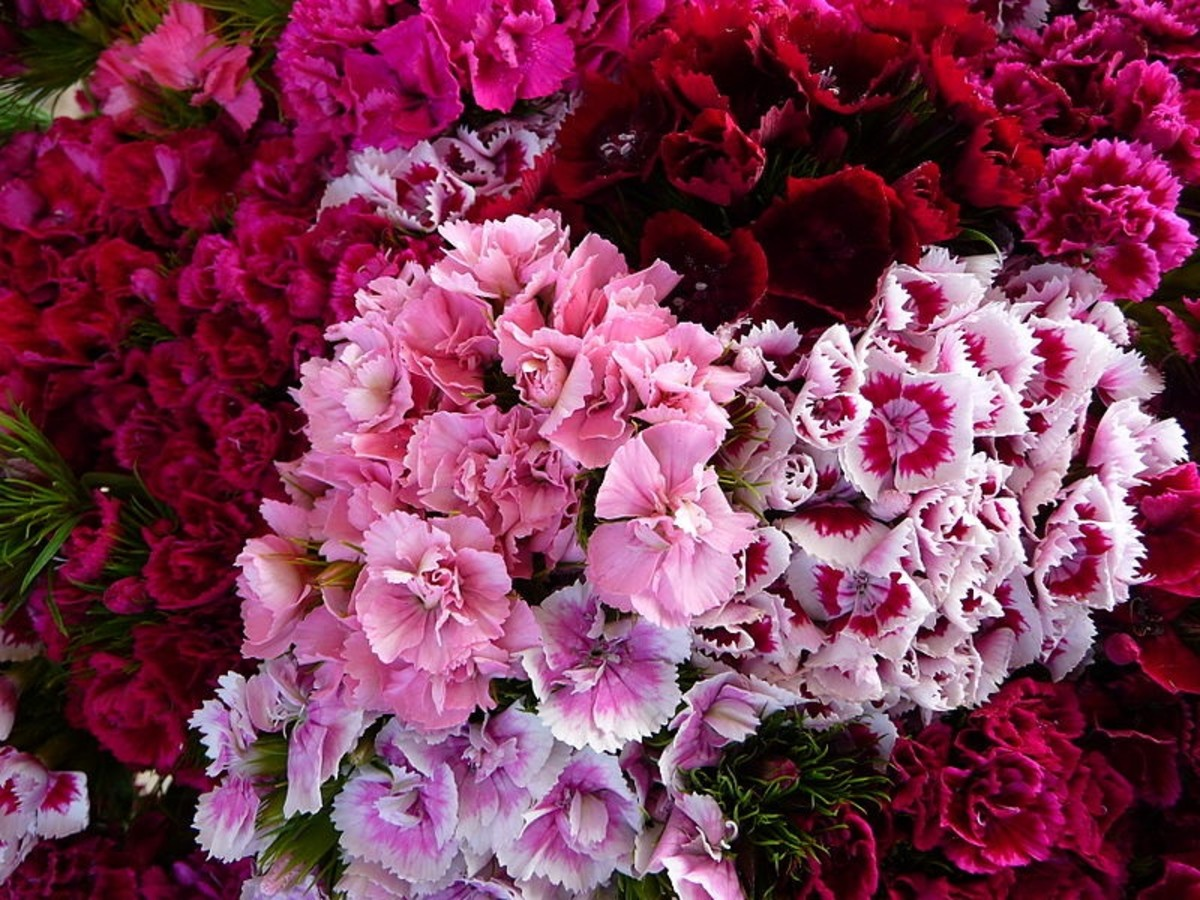 Newer cultivars of sweet william have double flowers.