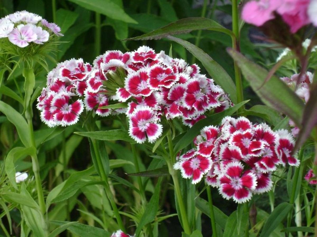 How to Grow Sweet William, a Cottage Garden Favorite