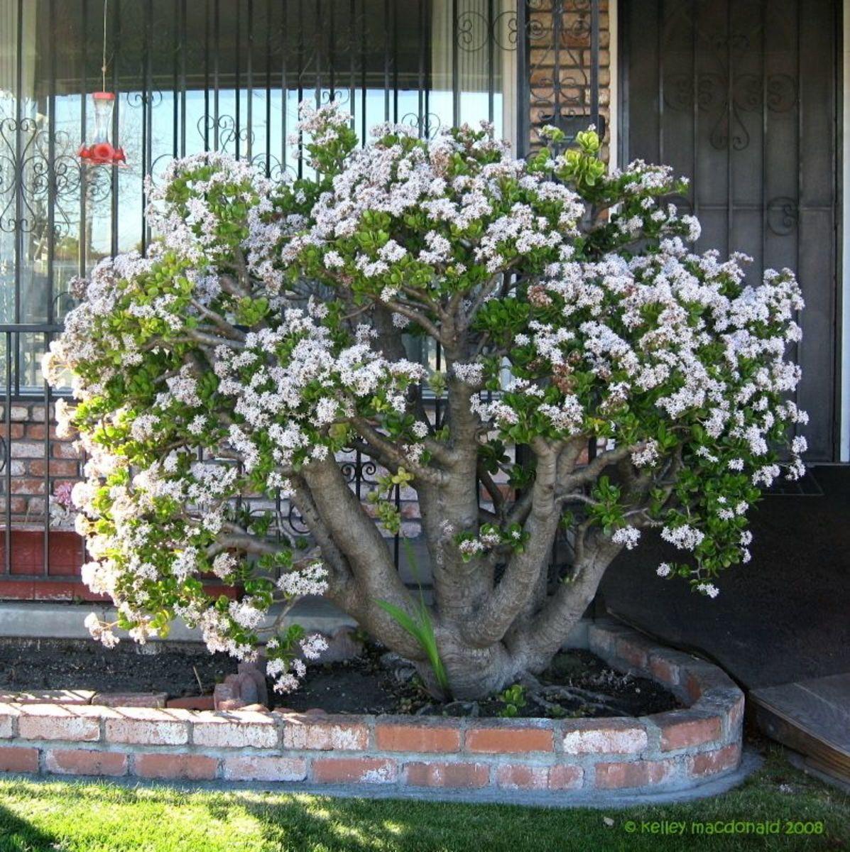 jade-plant-crassula-ovata