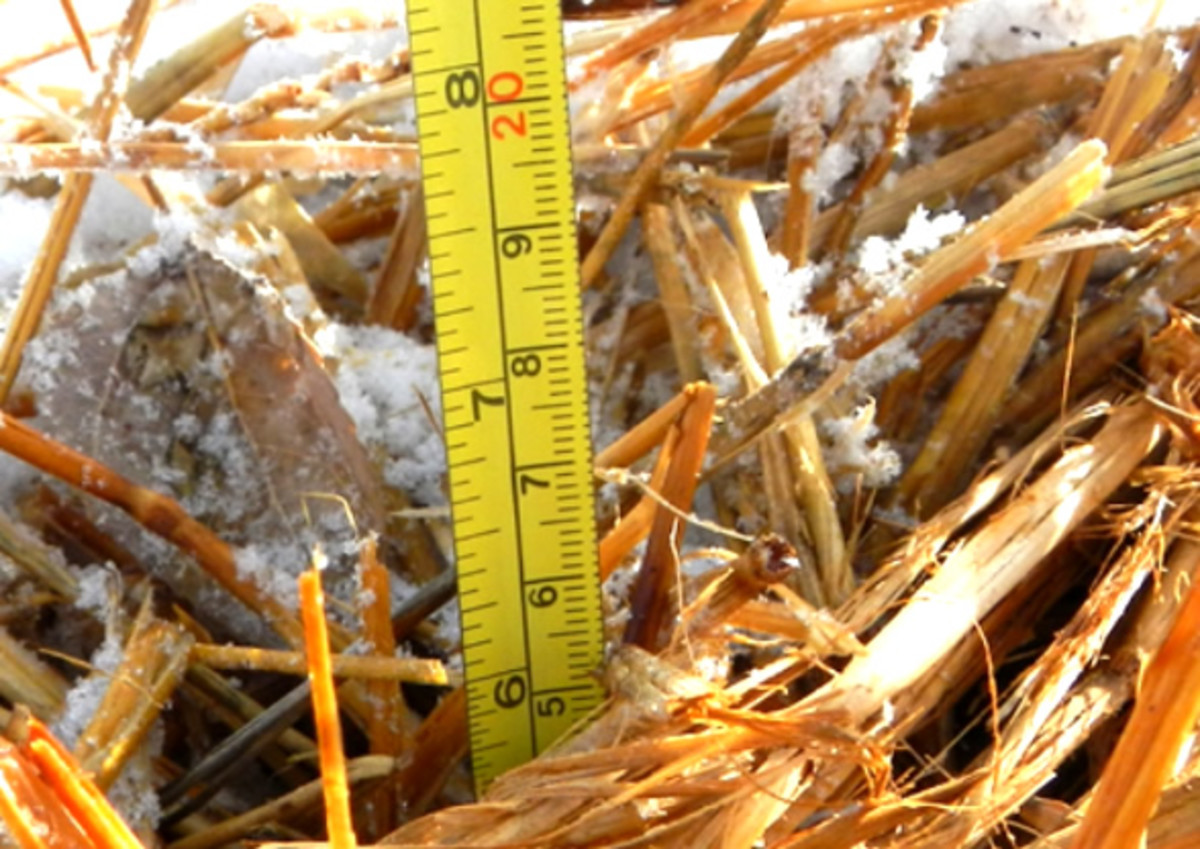 If you live in zone 4, you'll want to cover your carrots with about 6–8 inches of straw.