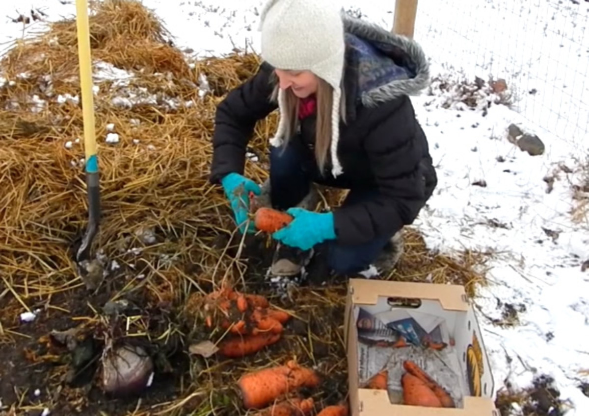 The specific region in Montana where I live, I cover my carrots around Thanksgiving, when night temperatures drop into the 20s and pretty much stay there. Other regions of Montana may differ.