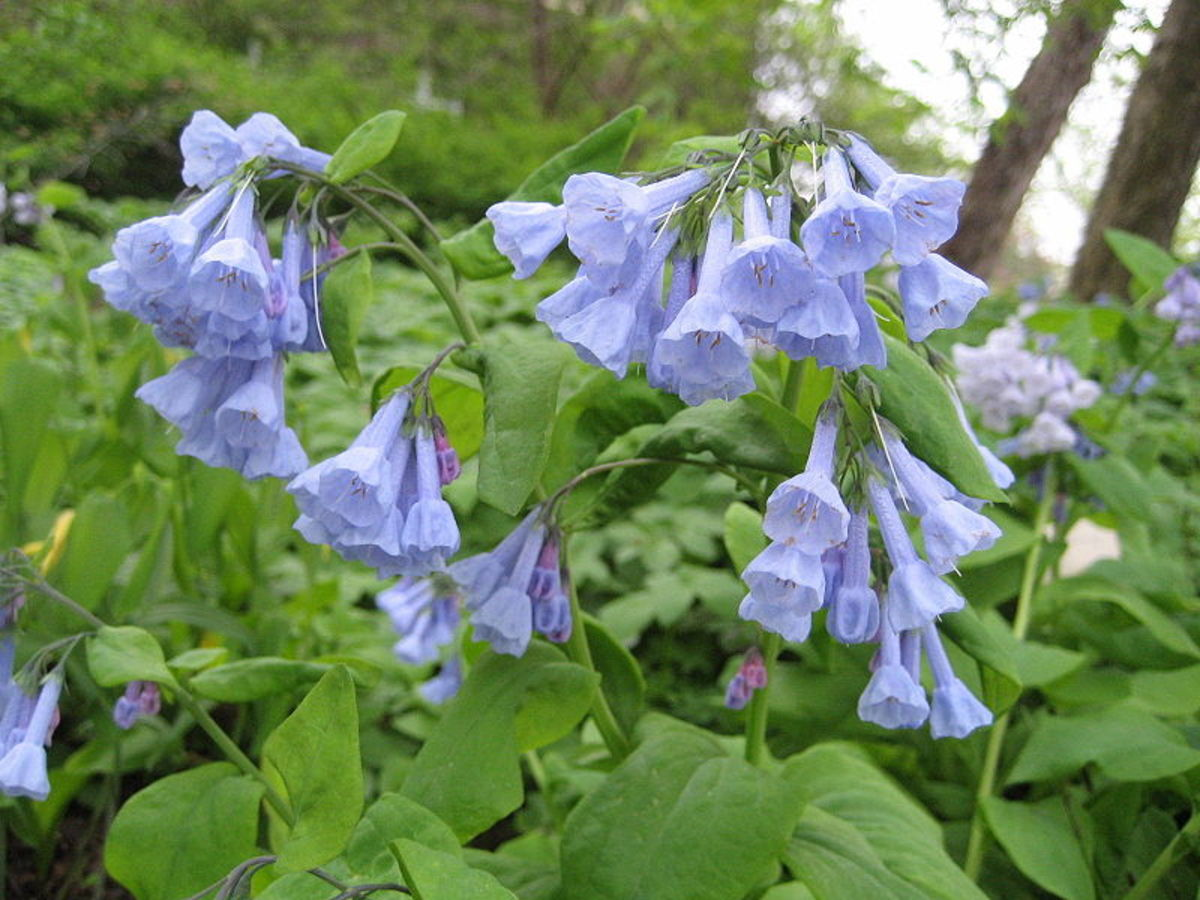 How to Grow Virginia Bluebells, a Native Woodland Plant